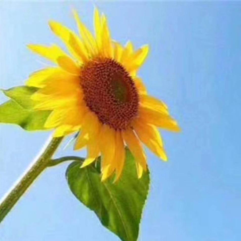一株向着太阳的向日葵